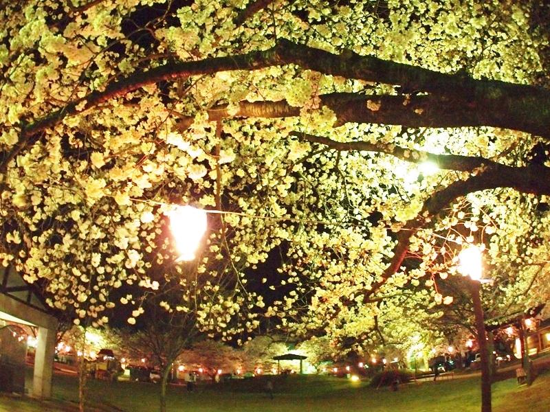 長野県千曲市戸倉上山田温泉中央公園夜桜おかみの会