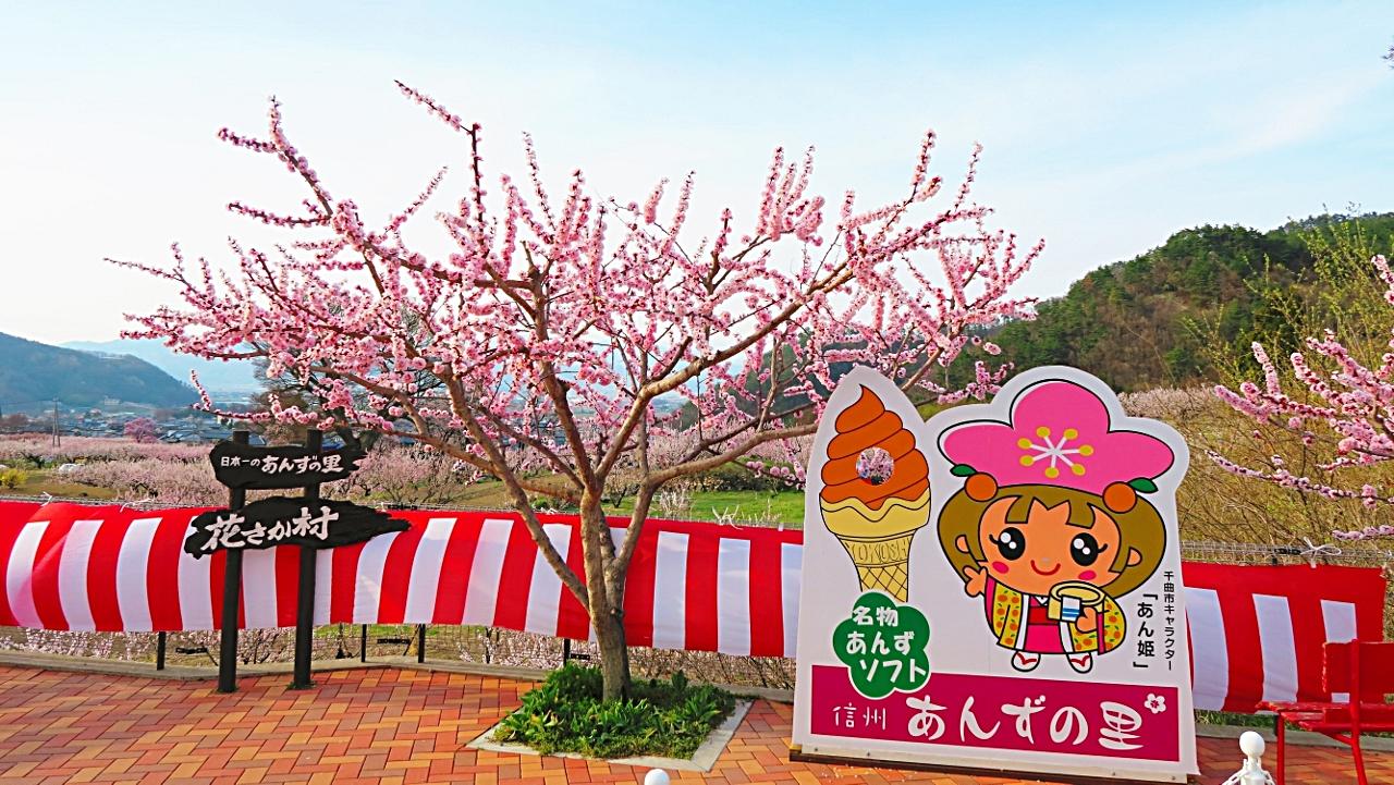 長野県千曲市あんずの里あんずまつりアンズ満開